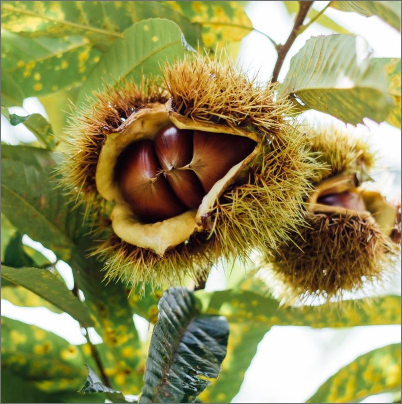 栽培期間内農薬不使用 京都丹波 生栗「栗峰」