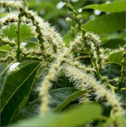 栽培期間内農薬不使用 京都丹波 生栗「筑波」